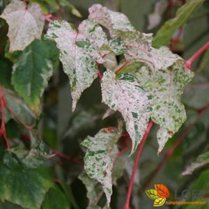 Acer conspicuum 'Red Flamingo'