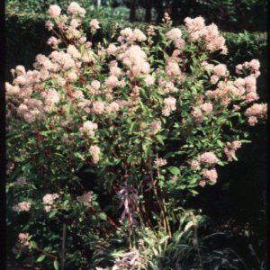 Ceanothus delileanus 'Gloire de Versaille