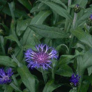 Centaurea montana 'Grandiflora'