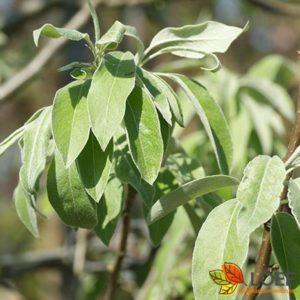 Pyrus elaeagnifolia 'Silver Sails'