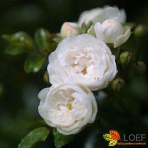 Rosa (H) 'Crystal Fairy'