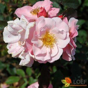 Rosa (H) 'Clair Matin'