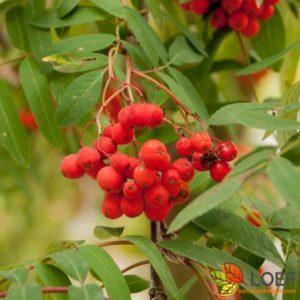 Sorbus aucuparia 'Fastigiata'