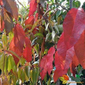 Prunus avium 'Varikse Zwarte'