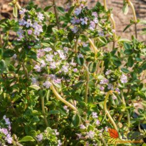 Thymus vulgaris 'Compactus'