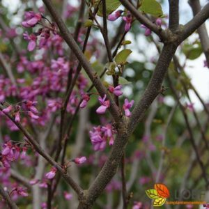 Cercis canadensis 'Tennessee Pink'