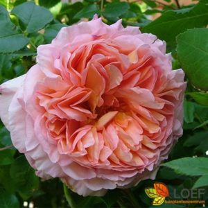 Rosa (H) 'Abraham Darby'