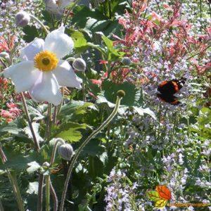 Anemone hybrida 'Honorine Jobert'