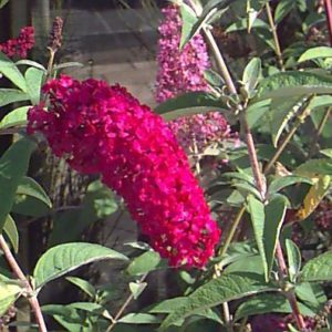 Buddleja davidii 'Ile de France'