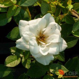 Rosa (H) 'Kent'