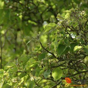 Pyrus calleryana 'Chanticleer'