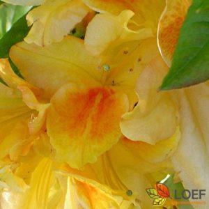 Rhododendron (AZ) mol.(z.) geel
