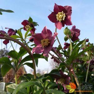 Helleborus orientalis 'Hello Ruby'