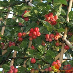 Malus 'Red Sentinel'