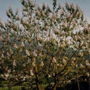 Paulownia tomentosa