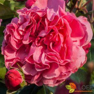 Rosa (T) Leonardo da Vinci