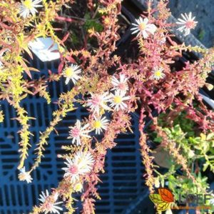 Aster ericoides 'Golden Spray'