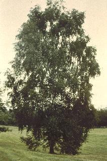 Betula pendula