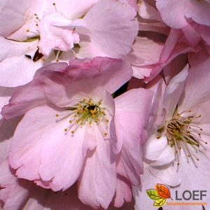 Prunus serrula 'Amanogawa'