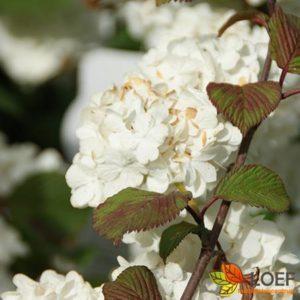 Viburnum plicatum 'Grandiflorum'