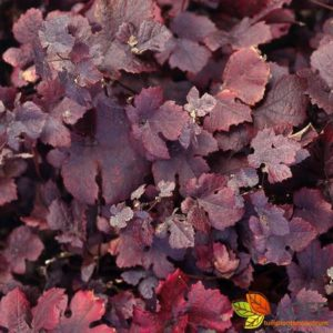 Vitis vinifera 'Purpurea'