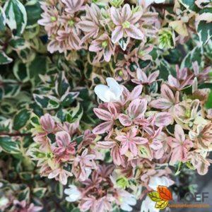 Abelia grandiflora 'Magic Daydream'