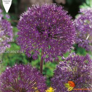 Allium afl. 'Purple Sensation'
