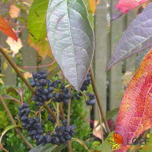 Aronia prunifolia 'Viking'