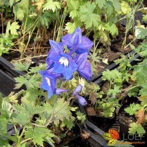 Delphinium pacific 'Blue Bird'