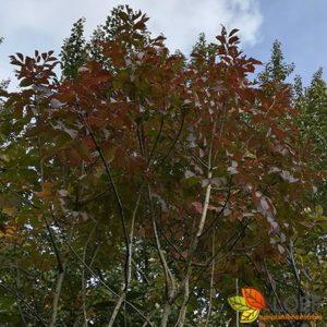Fraxinus ornus 'Mecsek'