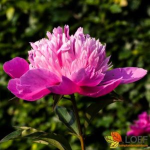 Paeonia lactiflora 'Sorbet'