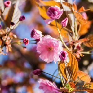 Prunus serrula 'Kanzan'
