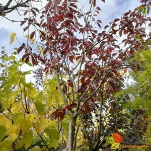 Prunus serrula 'Royal Burgundy'