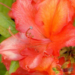 Rhododendron (AK) 'Gibraltar'