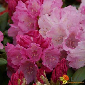 Rhododendron (Y) 'Polaris'