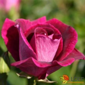 Rosa (F) 'Burgundi Ice'