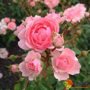 Rosa (F) 'Bonica'