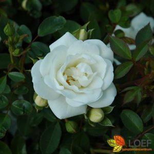 Rosa (F) 'Innocentia'