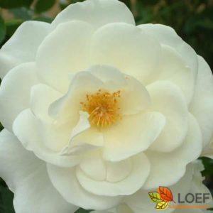 Rosa (H) 'Schneewittchen'