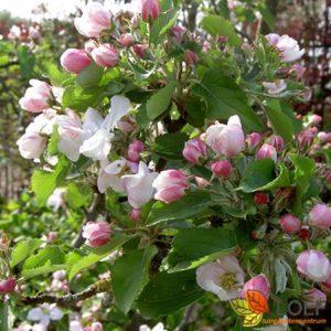 Malus domestica 'Bramley's Seedling'