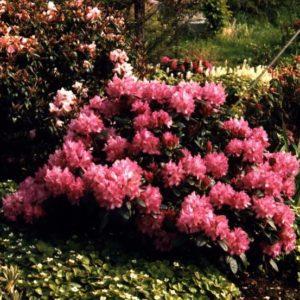 Rhododendron (Y) 'Blurettia'