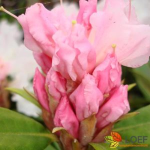 Rhododendron (C) 'Christmas Cheer'