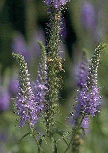 Veronica longifolia
