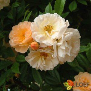 Rosa (K) 'Ghislaine de Féligonde'