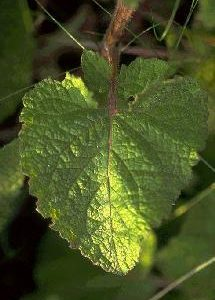 Salvia verticillata